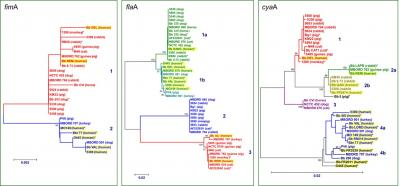 Phylogenetic trees based on fimA, flaA and cyaA sequences.