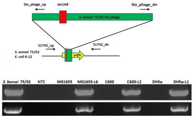 The S. sonnei 75/02 Stx phage integrated into the ynfG (oxydoreductase) gene in the original S. sonnei strain as well as three lysogenised E. coli K-12 derivative strains. PCR detection performed according to Gray et al (2014). Photo: István Tóth.
